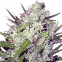 dark-angel-strain
